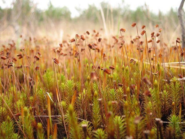 Так выглядит растущий кукушкин лен