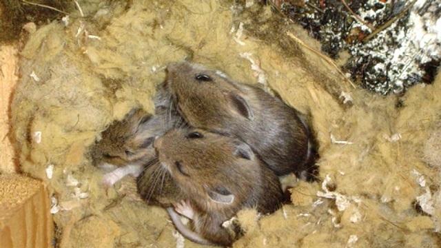 В любой минеральной вате мыши с большим удовольствие устраивают свои ходы, и даже гнезда.