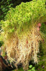 Оптимальный выбор для утепления - мох сфагнум